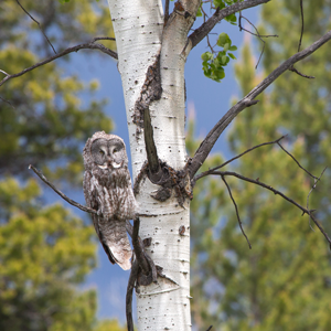 A great gray owl hunts from the branch of an aspen in Grand Teton National Park.