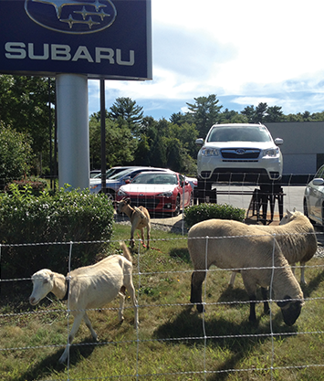 Planet Subaru hires a herd of commuter goats that trim down the vegetation on the property.