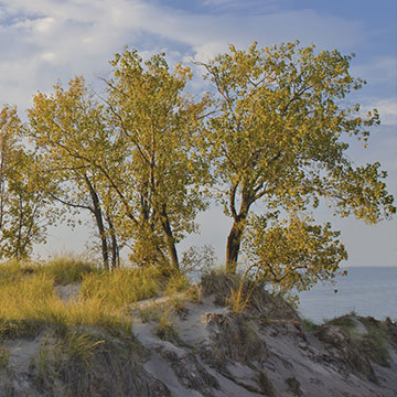 Cottonwood trees on the sandy West Beach shoreline of Lake Michigan.